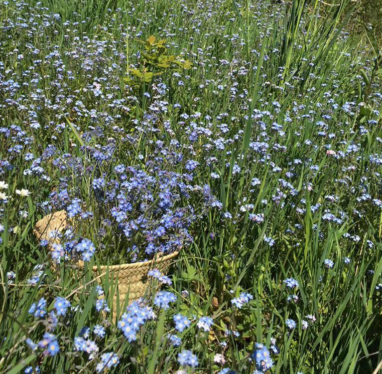 fleur-myosotis-la-source